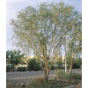108.34-Gallon Willow Acacia (L7642)