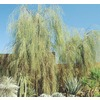 108.34-Gallon Shoestring Acacia (L9438)