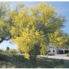 108.34-Gallon Blue Palo Verde (L4007)