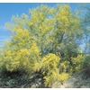 108.34-Gallon Sonoran Palo Verde (L4008)