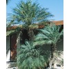 28.5-Gallon Pygmy Date Palm (L7542)