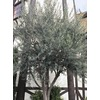 108.34-Gallon European Olive (L14921)