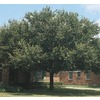 108.34-Gallon Live Oak (L3670)