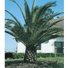 228.35-Gallon Canary Island Date Palm (L7541)