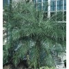 108.34-Gallon Pygmy Date Palm (LTL0059)