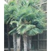 108.34-Gallon Chinese Windmill Palm (L8803)