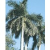 108.34-Gallon Florida Royal Palm (L0049)