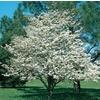 13.66-Gallon White Dogwood (L1053)