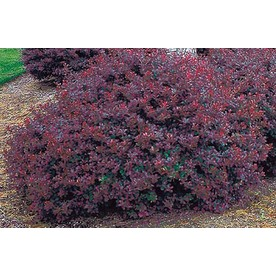 Display Product Reviews For 2 Gallon White Crimson Pygmy Barberry Accent  Shrub (L10821)