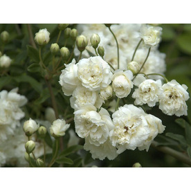 Monrovia Potted White Lady Banks Rose 070151