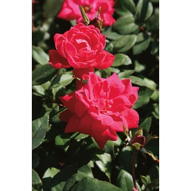 Display Product Reviews For 1 Gallon Double Knock Out Rose Lw02389