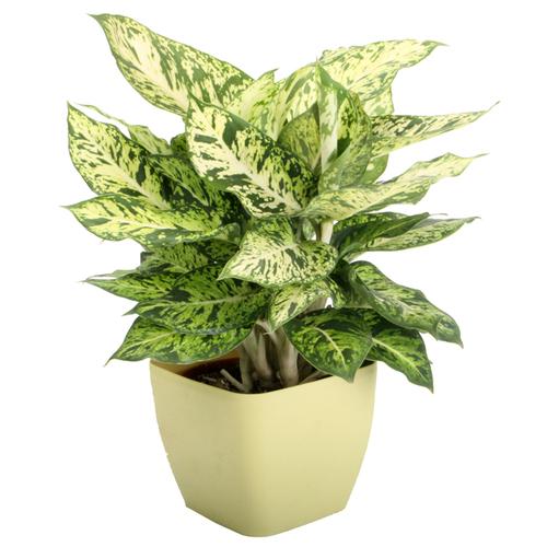 Decorative plants tortoise forum for Planta ornamental venenosa dieffenbachia