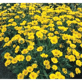Shop perennials at lowes display product reviews for 1 gallon potted coreopsis l9636 mightylinksfo