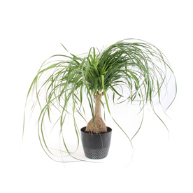 Delightful Display Product Reviews For .9 Quart(S) Ponytail Palm Pot (L2967HP .