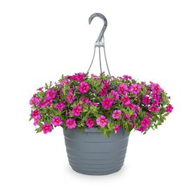 Shop plants bulbs seeds at lowes display product reviews for 15 gallon hanging basket calibrachoa l17603 mightylinksfo