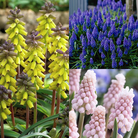 50-Count Hyacinth Bulbs 21531
