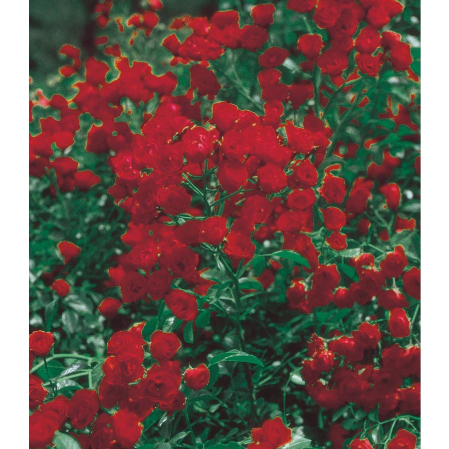 Shop 3 25 Gallon Red Lady Banks Rose Lw03784 At Lowes Com