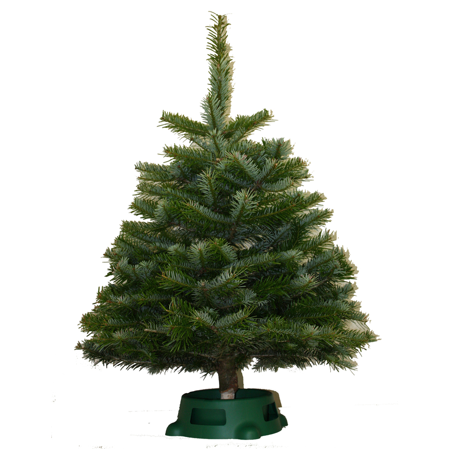 Where To Cut Christmas Trees: Shop 2-3-ft Fresh-Cut Noble Fir Tabletop Christmas Tree At