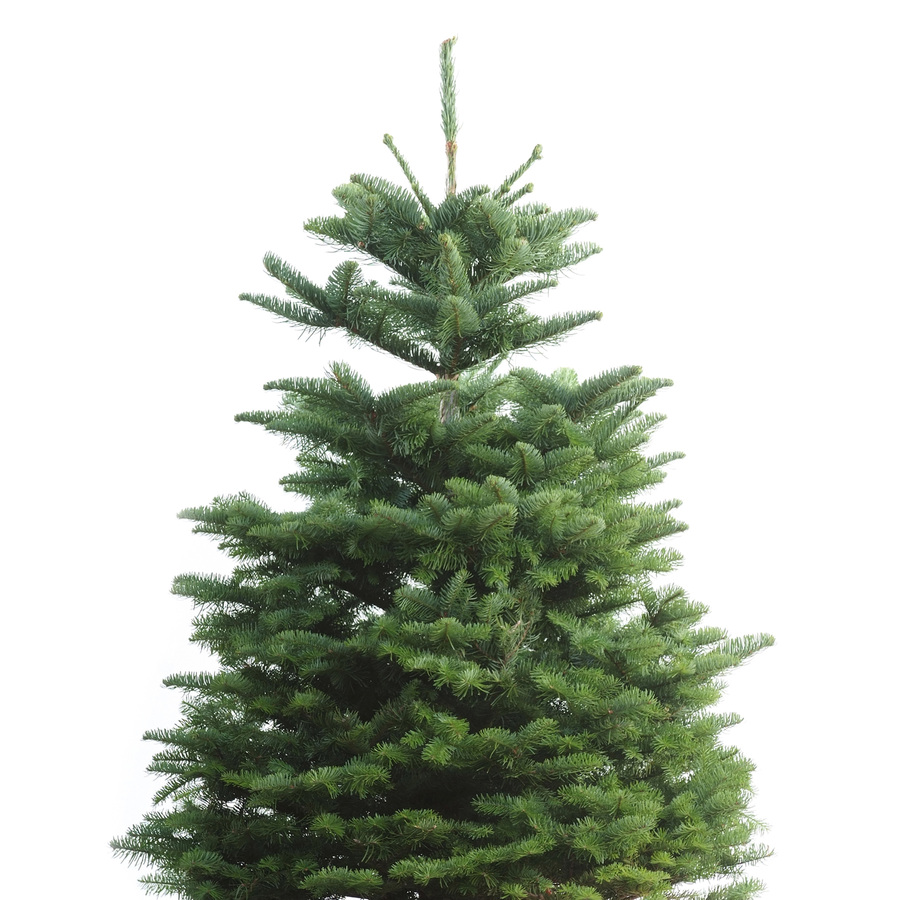 Shop 3-ft to 5-ft Fresh-Cut Noble Fir Christmas Tree at ...