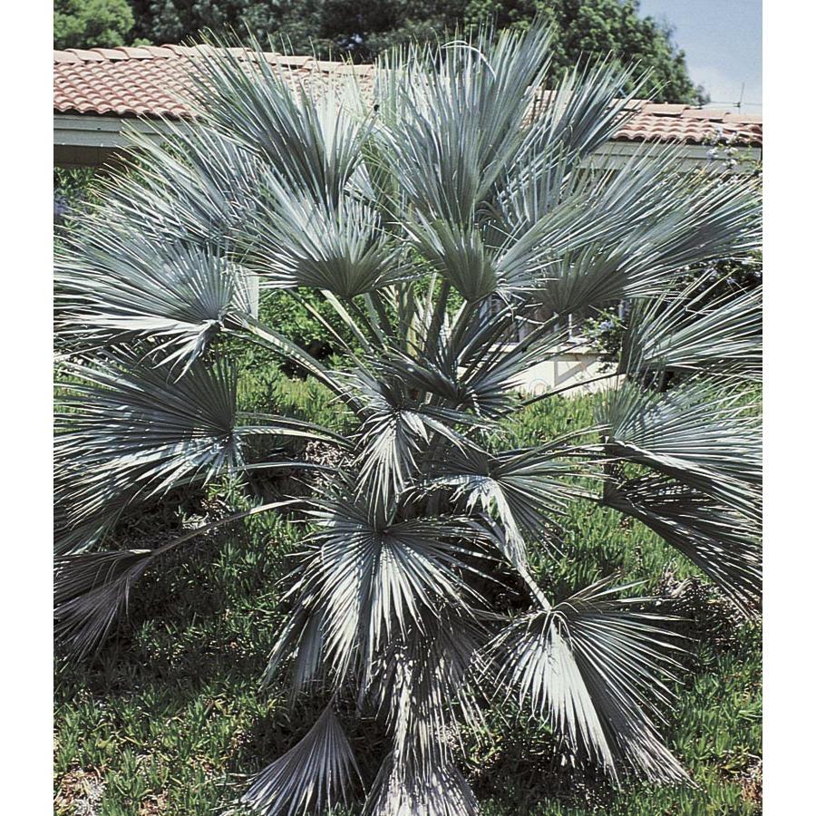 Shop 10 25 Gallon Mexican Blue Fan Palm L25018 At Lowes Com