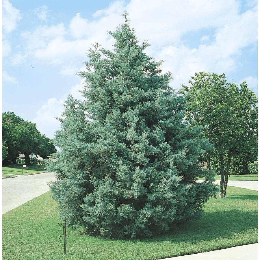 Shop 10 25 Gallon Arizona Cypress L5089 At Lowes Com