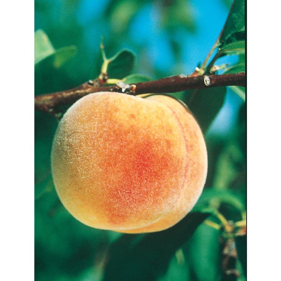 Shop 3 25 Gallon Texstar Peach Tree L1269 At Lowes Com