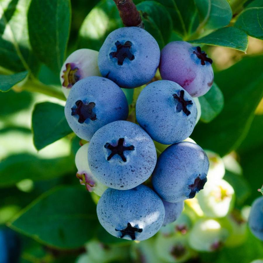 Gurney's Seed and Nursery 2.5-Quart Potted Elliot Blueberry Bush | 62272