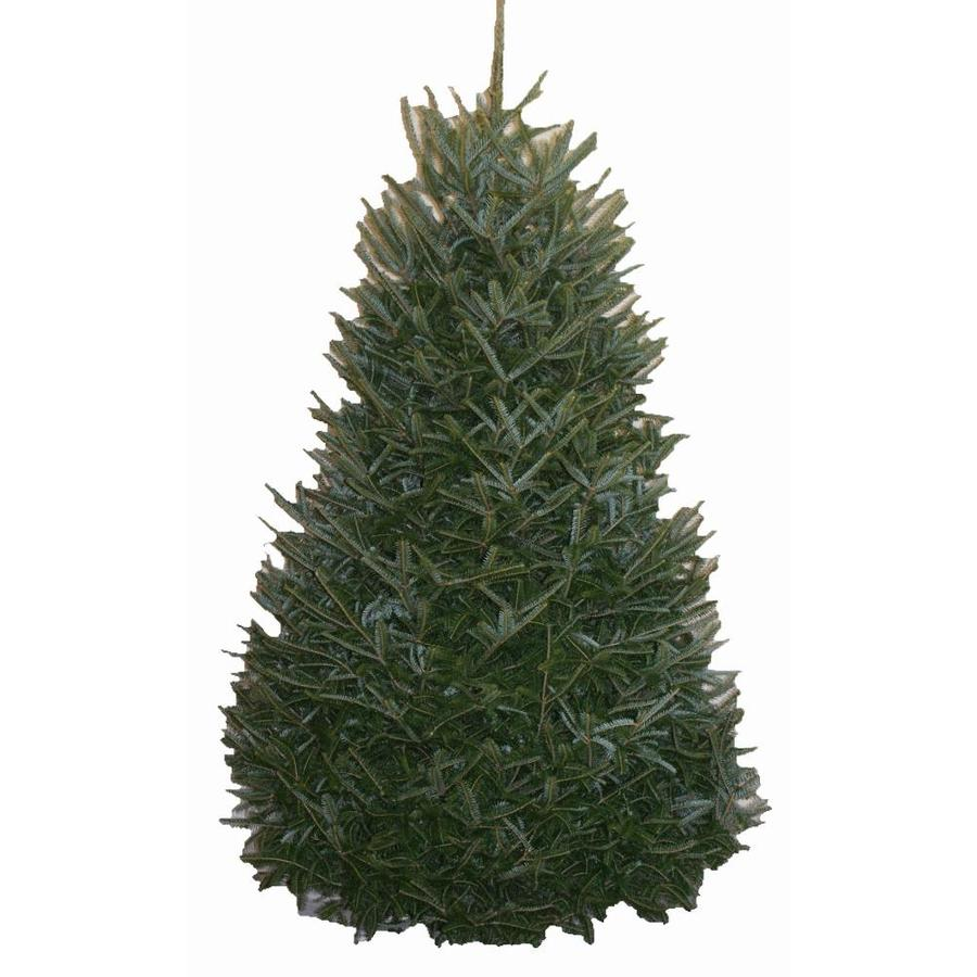 Where To Cut Christmas Trees: Shop 10-ft To 11-ft Fresh-Cut Fraser Fir Christmas Tree At