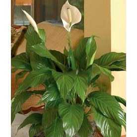 Shop House Plants at Lowes.com on aloe plant in bathroom, air plants in bathroom, prayer plant in bathroom,