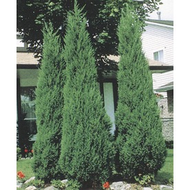 Shop 9 55 Gallon Insignificant Skyrocket Juniper L5113