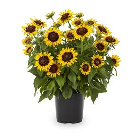 Shop perennials at lowes display product reviews for 25 quart potted black eyed susan l5336 mightylinksfo