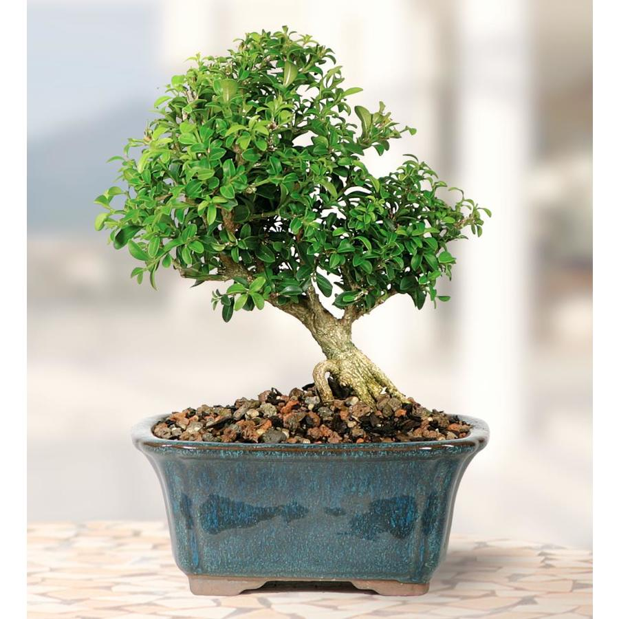 Brussel S Bonsai 6 In Dwarf Kingsville Boxwood Small In Clay Planter Dt5019db In The House Plants Department At Lowes Com
