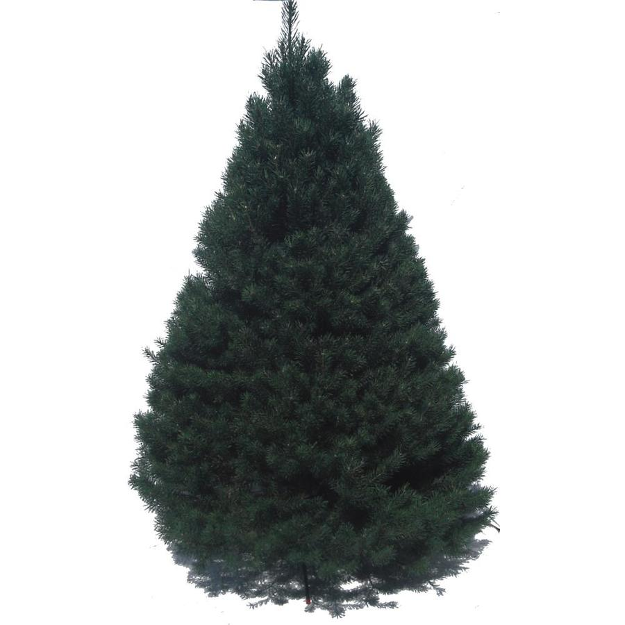 Where To Cut Christmas Trees: Shop 6-ft To 7-ft Fresh-Cut Scotch Pine Christmas Tree At