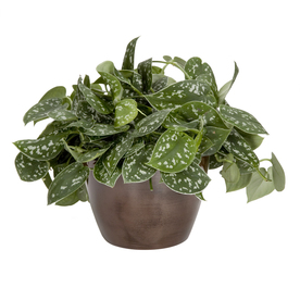 Shop Exotic Angel Plants Silver Philodendron In 1 45 Quart