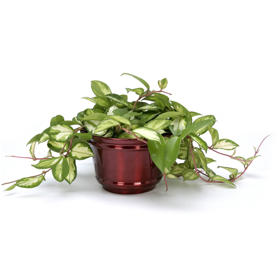 Exotic Angel Plants 6 In Hoya Rubra L5761 On Popscreen